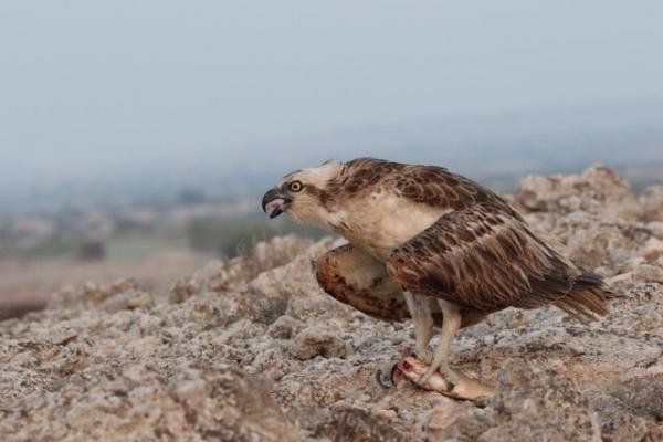 تیمار و رهاسازی عقاب ماهی گیر در نای بند